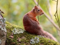 Red Squirrel_S1Q9935
