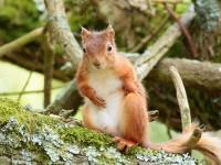 Red Squirrel_S1Q9944