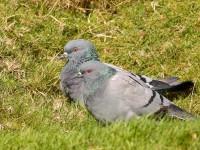Rock Doves2 _S1Q0836