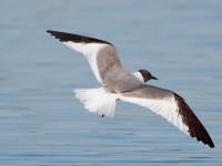 Sabine's Gull_S1Q9655