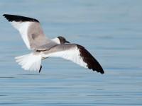 Sabine's Gull_S1Q9656