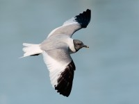 Sabine's Gull_S1Q9708