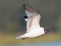 Sabine's Gull_S1Q9715