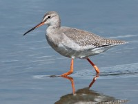 Spotted Redshank_S1Q9885