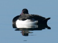Tufted Duck_J4X2199