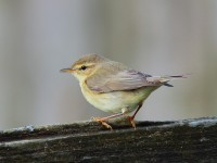 WILLOW WARBLER_S1Q0267