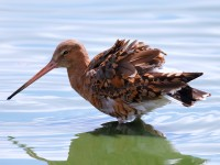 Black-tailed Godwit_J4X4930