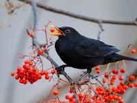 Blackbird_J4X9628