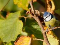 Blue Tit_J4X9287