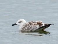 Caspian Gull_J4X5212