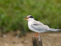 Common Tern_J4X5045