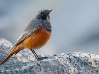 Eastern Black Redstart_J4X8568