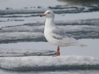 Glaucous Gull 2_J4X1490