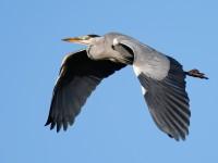 Grey Heron_J4X9131