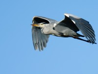 Grey Heron_J4X9132