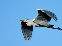 Grey Heron_J4X9133