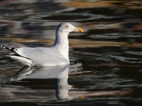 Herring Gull_J4X9852