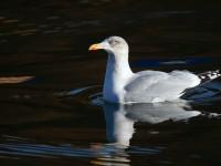 Herring Gull_J4X9863