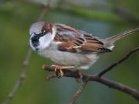 House Sparrow _J4X0954