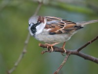 House Sparrow _J4X0958