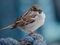 House Sparrow_J4X0029