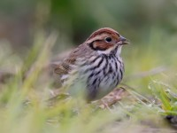 Little Bunting_J4X6928