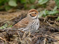 Little Bunting_J4X6961