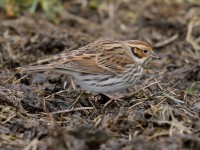 Little Bunting_J4X6989