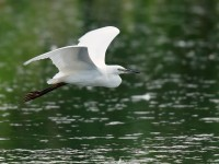 Little Egret_J4X4634