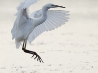 Little Egret_J4X4639