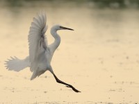 Little Egret_J4X4643