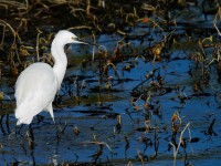 Little Egret_J4X9235