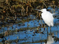 Little Egret_J4X9254