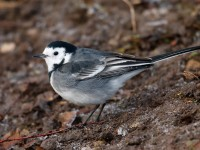Pied Wagtail _J4X0873