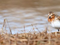 Red-necked Stint_J4X0586