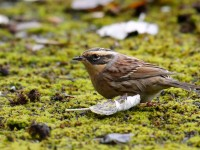 Sibe Accentor_J4X7957