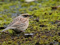 Sibe Accentor_J4X8032