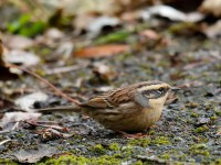 Sibe Accentor_J4X8194