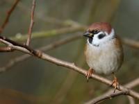 Tree Sparrow _J4X1180