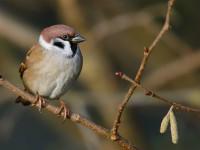 Tree Sparrow_J4X1235
