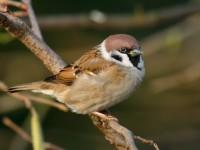 Tree Sparrow_J4X1267