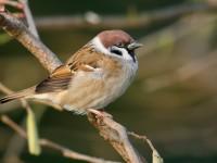 Tree Sparrow_J4X1271