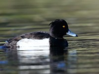 Tufted Duck_J4X0052