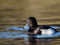 Tufted Duck_J4X0064