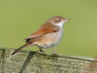 Whitethroat_J4X7119