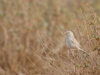 African Desert Warbler _J4X2229