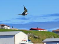 Arctic Tern _M2A0224