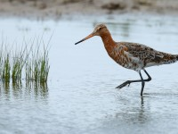 Black-tailed Godwit _J4X6293