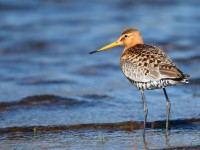 Black-tailed Godwit _J4X8319
