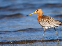 Black-tailed Godwit _J4X8334
